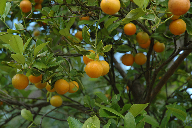 ability of citrofortunella microcarpa calamansi shampoo Recipe: candied calamansi limes october 12 this year i am thankful for family, a comfortable place to live, a decent job and teh ability to create things.
