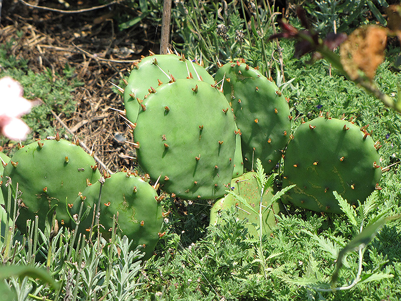 Prickly Pear Cactus Opuntia Humifusa In St Thomas Port
