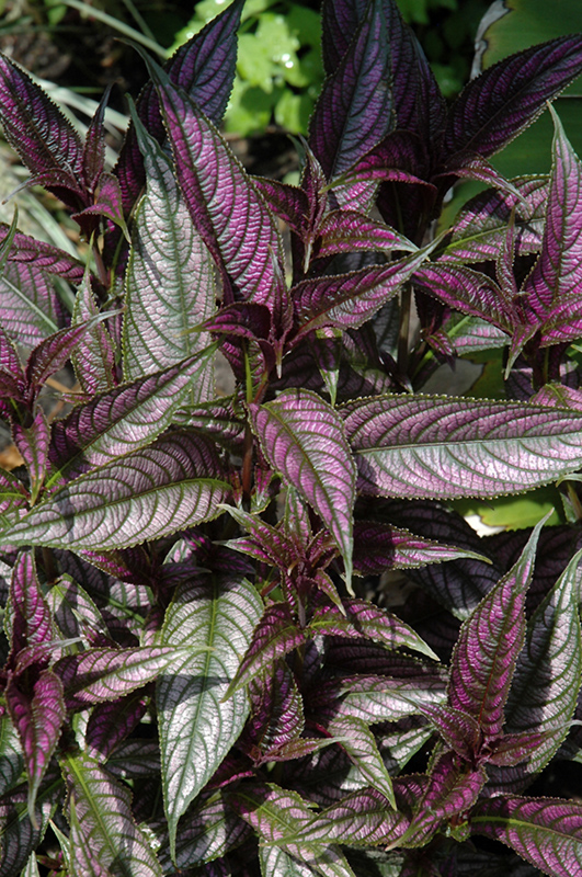 Persian Shield Strobilanthes Dyerianus In St Thomas Port