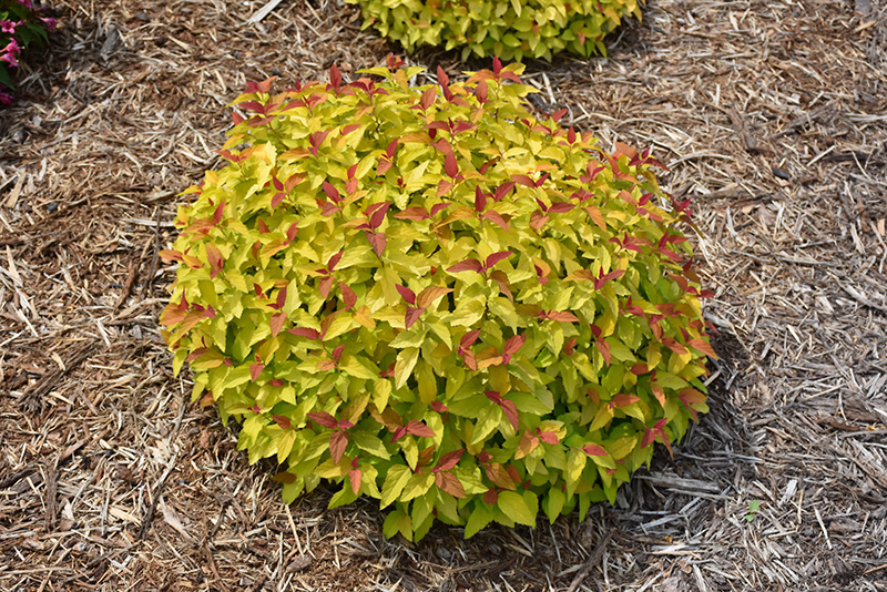 Double Play 174 Candy Corn 174 Spirea Spiraea Japonica Ncsx1