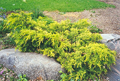 Gold Coast Juniper (Juniperus x media 'Gold Coast') at Canadale Nurseries