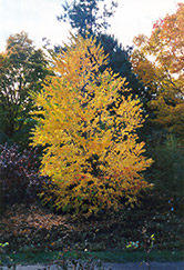 Katsura Tree (Cercidiphyllum japonicum) at Canadale Nurseries