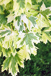 Harlequin Norway Maple (Acer platanoides 'Drummondii') at Canadale Nurseries