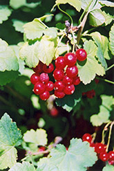 Red Currant (Ribes sativum) at Canadale Nurseries