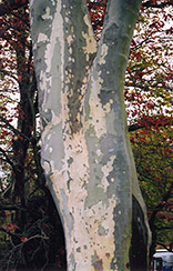 London Planetree (Platanus x acerifolia) at Canadale Nurseries