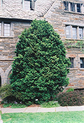 Compact Hinoki Falsecypress (Chamaecyparis obtusa 'Compacta') at Canadale Nurseries