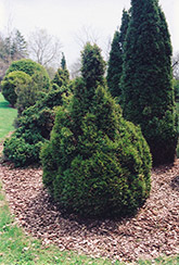 Brabant Arborvitae (Thuja occidentalis 'Brabant') at Canadale Nurseries