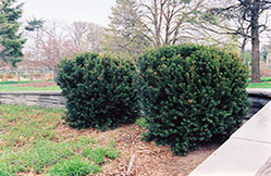 Hill's Yew (Taxus x media 'Hillii') at Canadale Nurseries