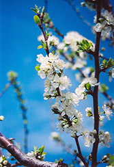 Mount Royal Plum (Prunus 'Mount Royal') at Canadale Nurseries