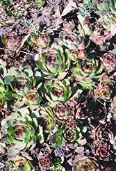 Kalinda Hens And Chicks (Sempervivum 'Kalinda') at Canadale Nurseries