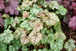 Mint Frost Coral Bells (Heuchera 'Mint Frost') at Canadale Nurseries
