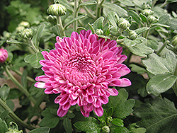 Debonair Chrysanthemum (Chrysanthemum 'Debonair') at Canadale Nurseries
