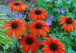 Tangerine Dream Coneflower (Echinacea 'Tangerine Dream') at Canadale Nurseries