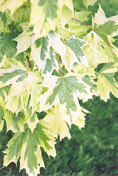 Harlequin Norway Maple (Acer platanoides 'Harlequin') at Canadale Nurseries