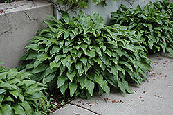 Invincible Hosta (Hosta 'Invincible') at Canadale Nurseries