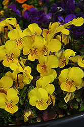Penny Yellow Pansy (Viola cornuta 'Penny Yellow') at Canadale Nurseries