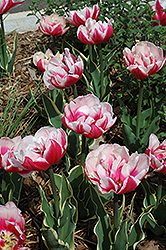 Top Lips Tulip (Tulipa 'Top Lips') at Canadale Nurseries