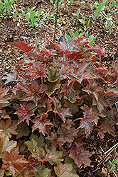Palace Purple Coral Bells (Heuchera micrantha 'Palace Purple') at Canadale Nurseries
