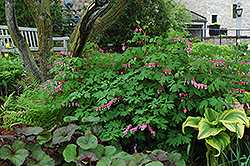 Common Bleeding Heart (Dicentra spectabilis) at Canadale Nurseries