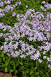 Woodland Phlox (Phlox divaricata) at Canadale Nurseries