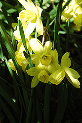 Liberty Bells Daffodil (Narcissus 'Liberty Bells') at Canadale Nurseries