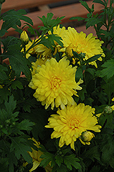 Morden Canary Chrysanthemum (Chrysanthemum 'Morden Canary') at Canadale Nurseries