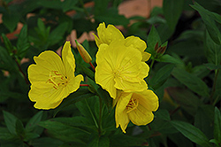 Yellow Sundrops (Oenothera tetragona) at Canadale Nurseries
