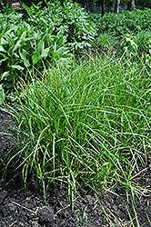 Palm Sedge (Carex muskingumensis) at Canadale Nurseries