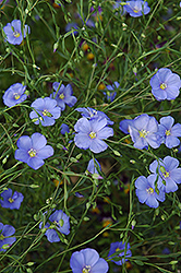 Perennial Flax (Linum perenne) at Canadale Nurseries