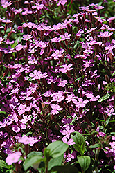 Rock Soapwort (Saponaria ocymoides) at Canadale Nurseries