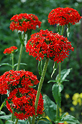 Maltese Cross (Lychnis chalcedonica) at Canadale Nurseries