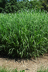 Silver Feather Maiden Grass (Miscanthus sinensis 'Silver Feather') at Canadale Nurseries