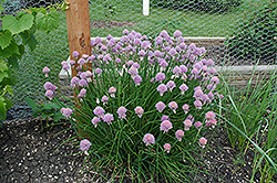 Chives (Allium schoenoprasum) at Canadale Nurseries
