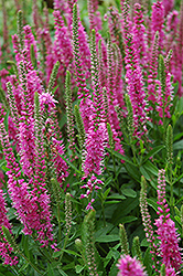 Red Fox Speedwell (Veronica spicata 'Red Fox') at Canadale Nurseries