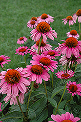 Ruby Star™ Coneflower (Echinacea purpurea 'Rubinstern') at Canadale Nurseries