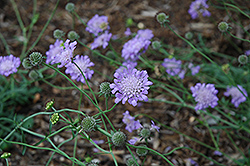 Butterfly Blue Pincushion Flower (Scabiosa 'Butterfly Blue') at Canadale Nurseries