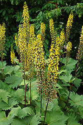 The Rocket Rayflower (Ligularia 'The Rocket') at Canadale Nurseries