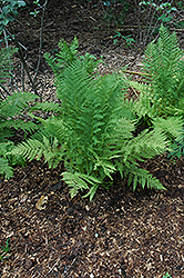 Lady Fern (Athyrium filix-femina) at Canadale Nurseries