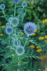 Globe Thistle (Echinops ritro) at Canadale Nurseries