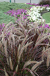Purple Fountain Grass (Pennisetum setaceum 'Rubrum') at Canadale Nurseries