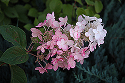 Pink Diamond Hydrangea (Hydrangea paniculata 'Pink Diamond') at Canadale Nurseries