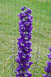 Blue Fountains Larkspur (Delphinium 'Blue Fountains') at Canadale Nurseries