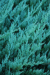 Blue Chip Juniper (Juniperus horizontalis 'Blue Chip') at Canadale Nurseries