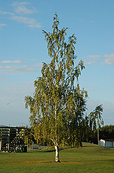 Cutleaf Weeping Birch (Betula pendula 'Dalecarlica') at Canadale Nurseries