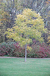Kentucky Coffeetree (Gymnocladus dioicus) at Canadale Nurseries