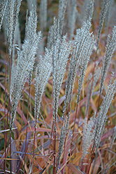 Flame Grass (Miscanthus sinensis 'Purpurascens') at Canadale Nurseries
