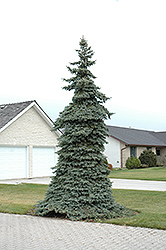 Weeping Blue Spruce (Picea pungens 'Pendula') at Canadale Nurseries
