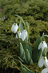 Common Snowdrop (Galanthus nivalis) at Canadale Nurseries