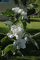 Macintosh Apple (Malus 'Macintosh') at Canadale Nurseries