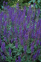 May Night Sage (Salvia x sylvestris 'May Night') at Canadale Nurseries